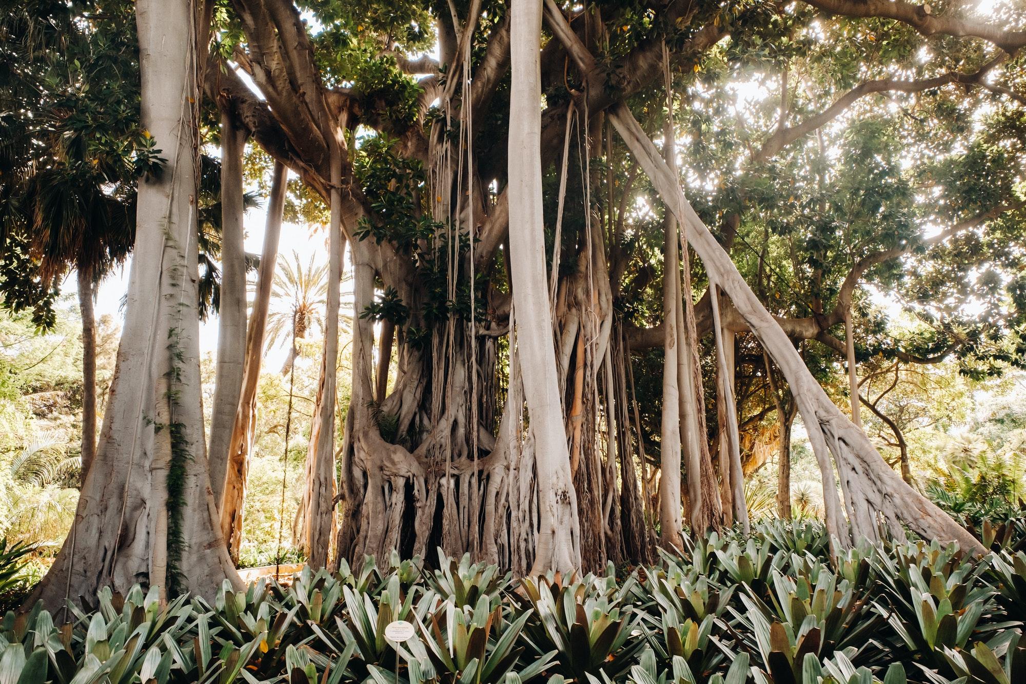 Giant ficus, Tropical plants of the Botanical Garden, Puerto de la Cruz in Tenerife, Canary Islands
